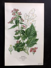 Edward Step 1897 Botanical Print. Honesty